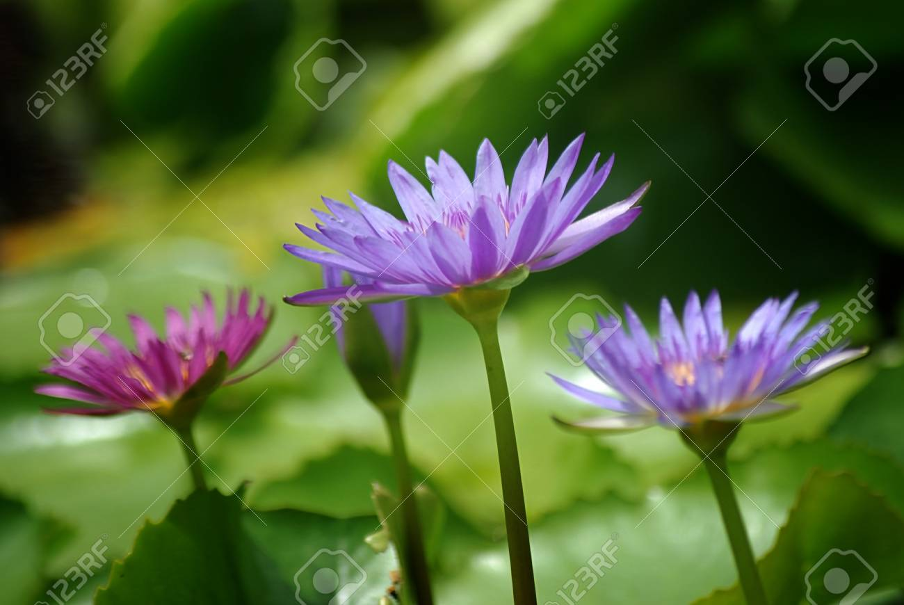 Purple Lotus Flowers Or Water Lilly Stock Photo Picture And Royalty