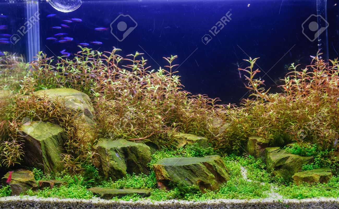 Aquascaping Of The Beautiful Planted Tropical Freshwater Aquarium Stock Photo Picture And Royalty Free Image Image 29466469