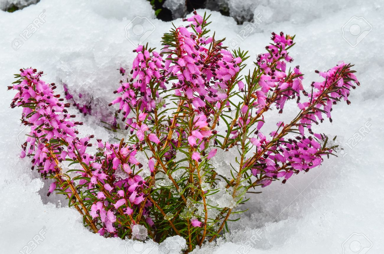 Early spring purple flowers of common heather or calluna vulgaris early spring purple flowers of common heather or calluna vulgaris surprised by late snow stock mightylinksfo