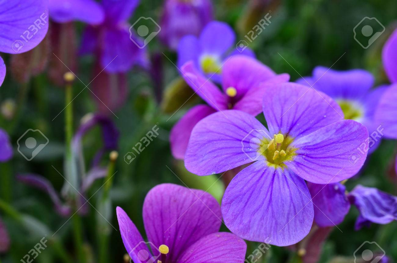 Purple flower close up purple petals yellow pestle and stamens purple flower close up purple petals yellow pestle and stamens stock photo 41775866 mightylinksfo
