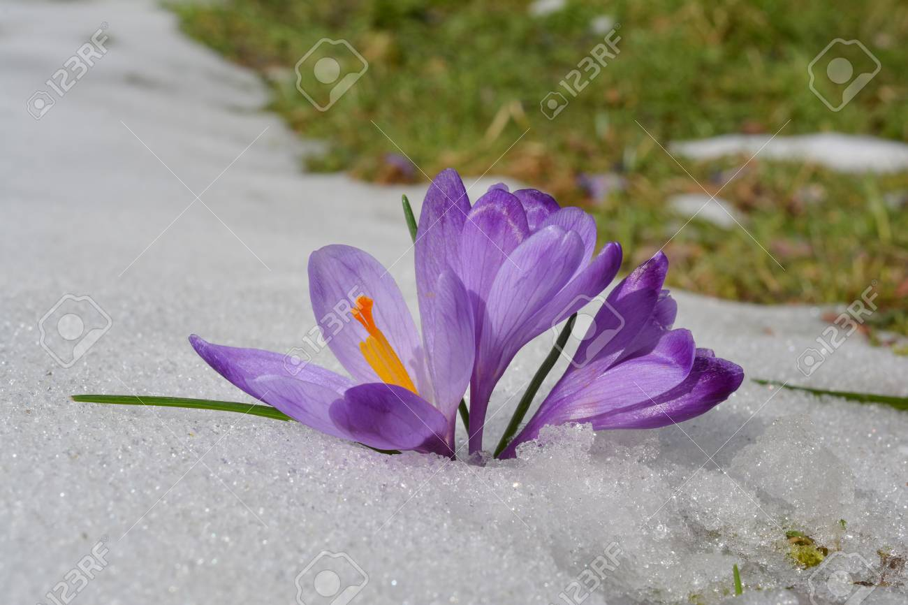 Wild Spring Saffron Flowers Growing In Melting Snow And Green Meadow