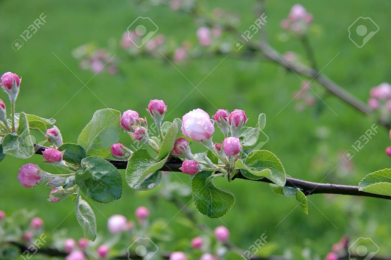 Close Up Shot Of Branch Of Crab Apple Tree Flowers Stock Photo