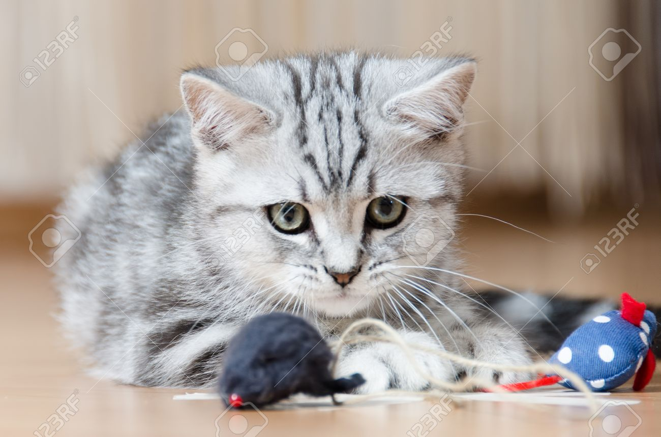British Shorthair Silver Tabby Cat Playing With Mouse Stock