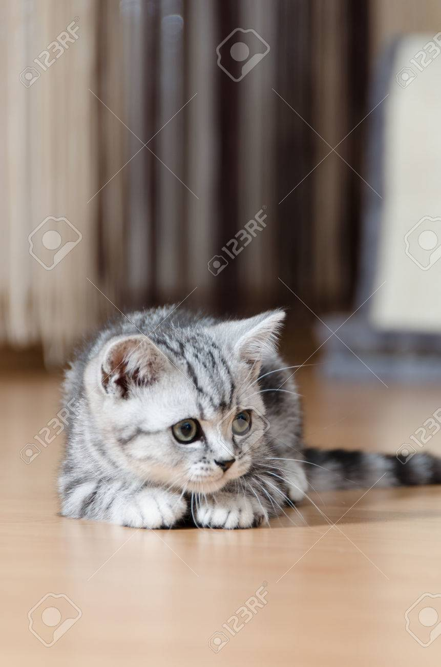 British Shorthair Silver Tabby Cat Looking Stock Picture