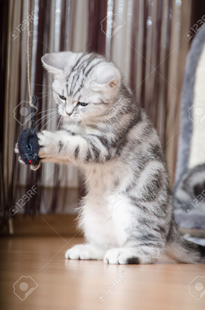 British Shorthair Silver Tabby Cat Playing With Mouse Stock Photo