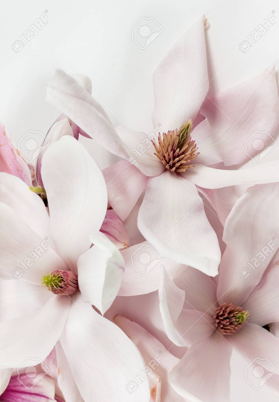 Fresh And Open Magnolia Flowers On White Background As Studio