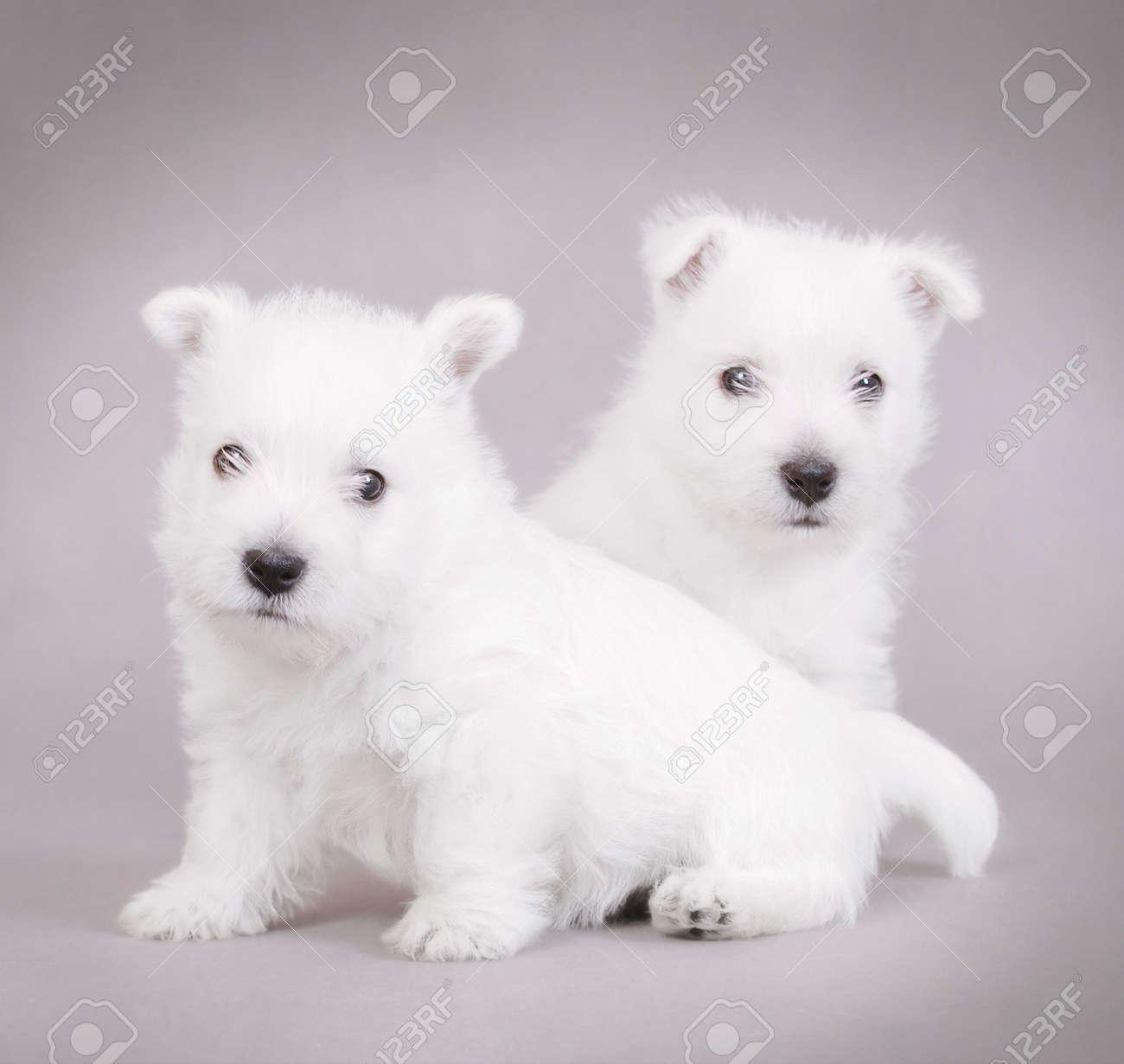 West Highland White Terrier puppies portrait Stock Photo - 5920627