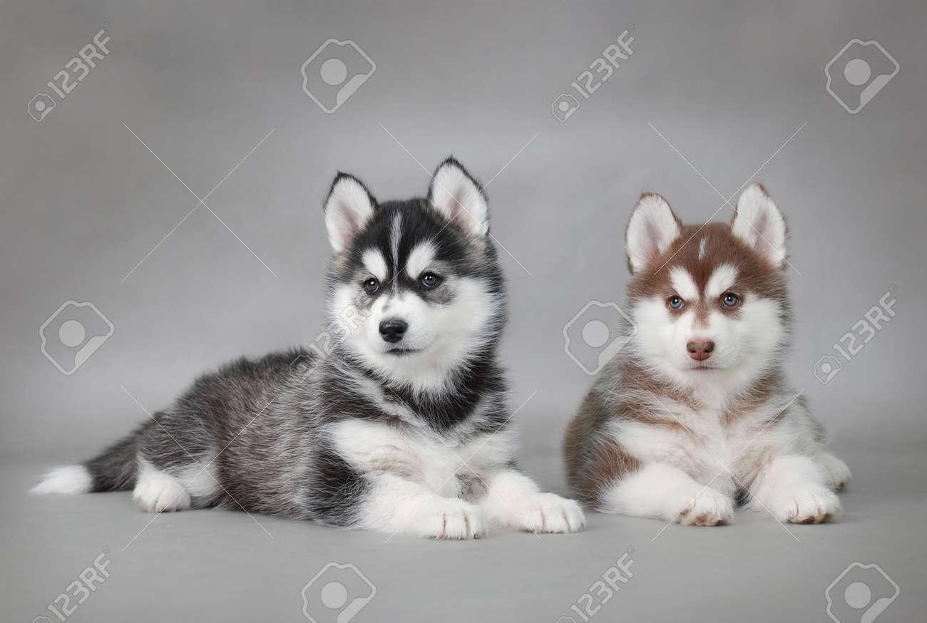 Two Husky dog puppies portrait Stock Photo - 5920631