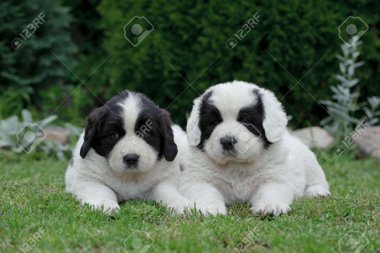 Two Little Landseernewfoundland Type Puppy Portrait In Garden