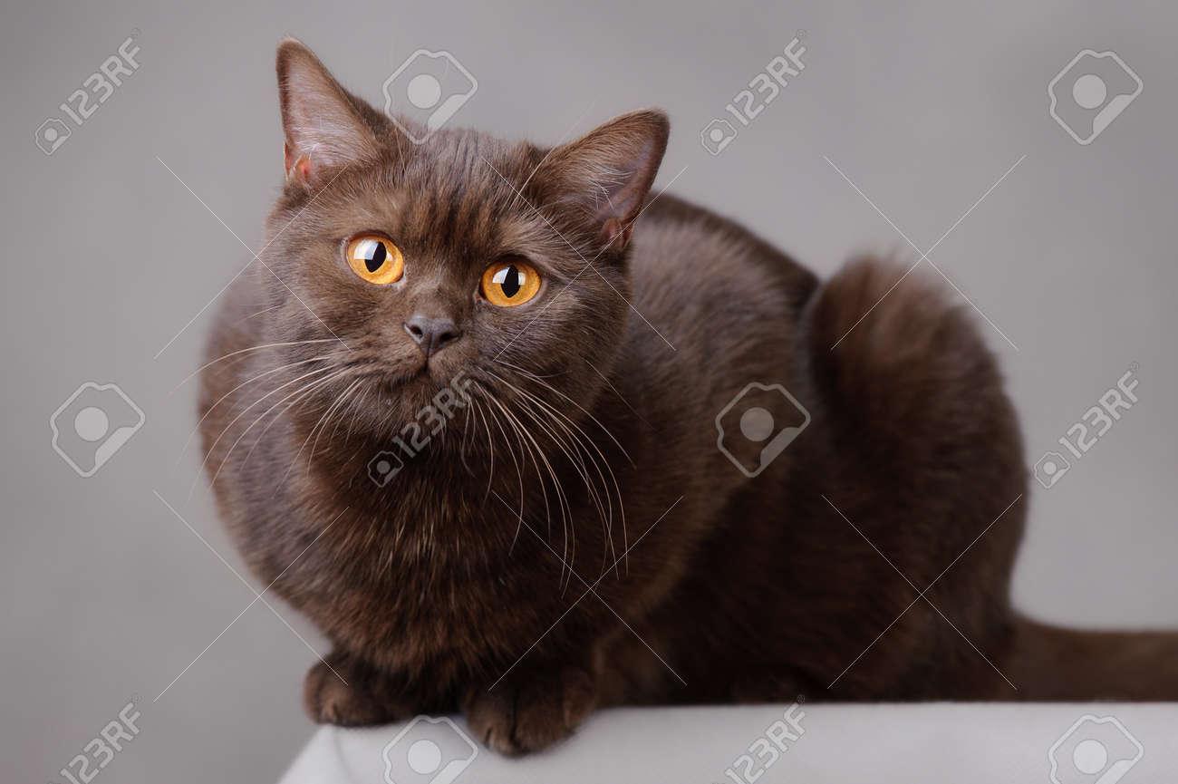 Chocolate British shorthair cat Stock Photo - 12220714