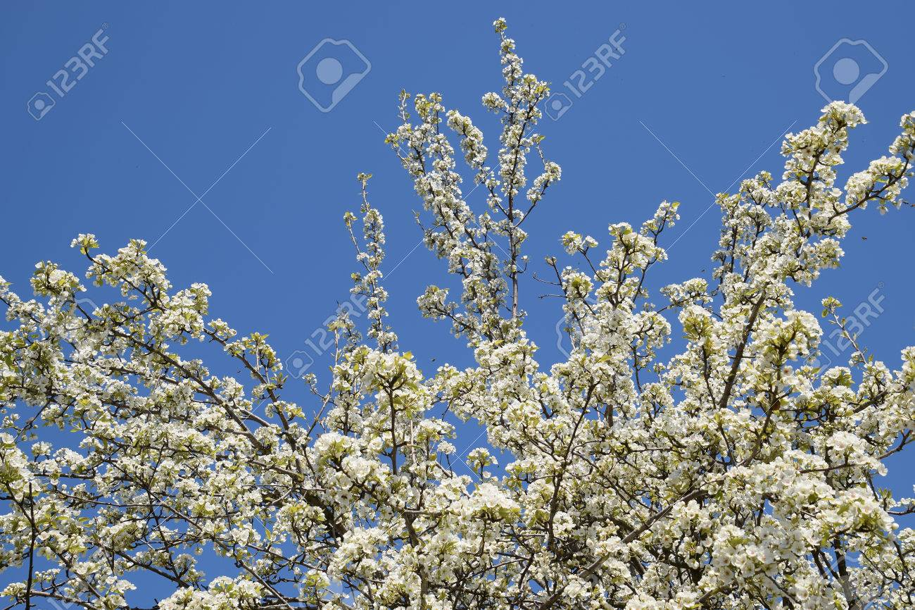 Blooming wild pear in the garden spring flowering trees spring flowering trees pollination of flowers of pear izmirmasajfo