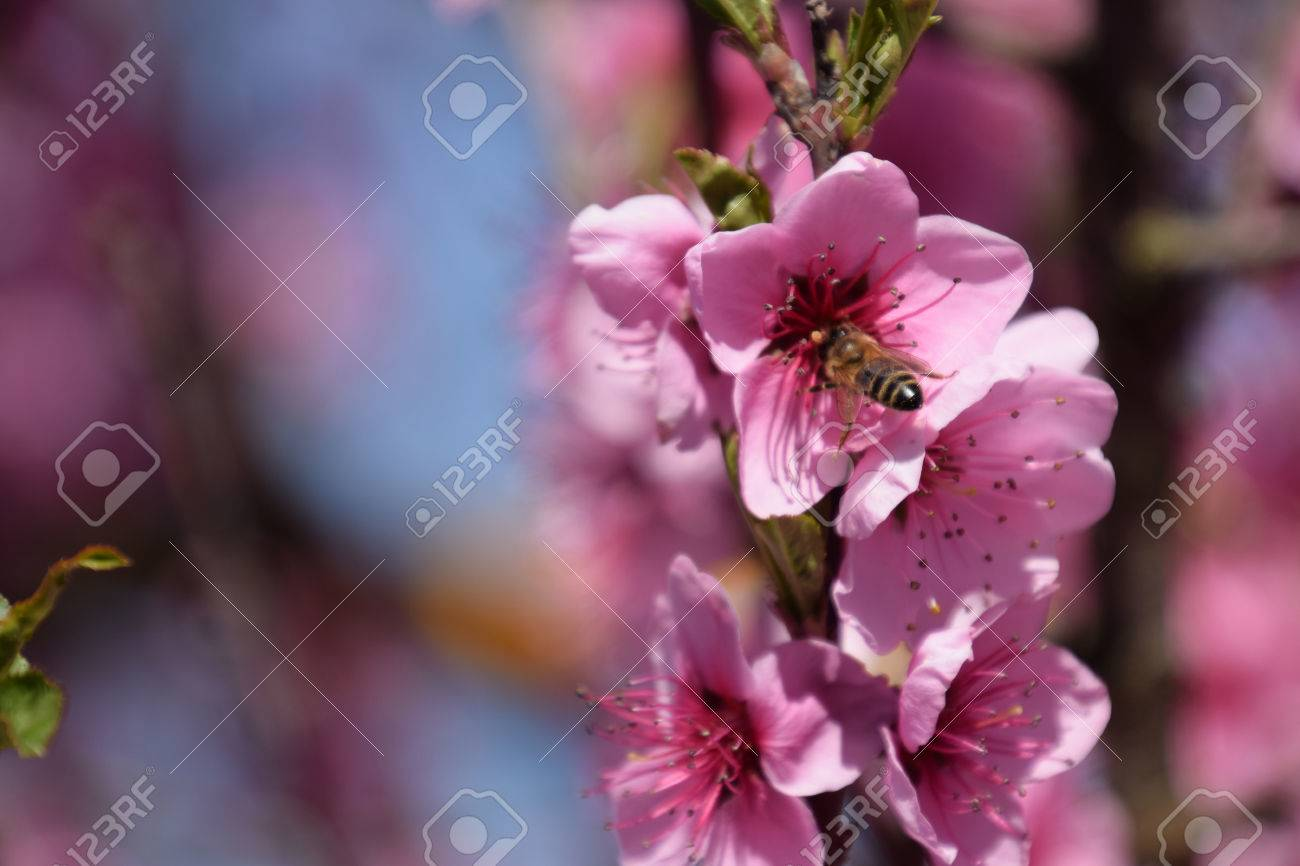 Pollination Of Flowers By Bees Peach White Pear Flowers Is A