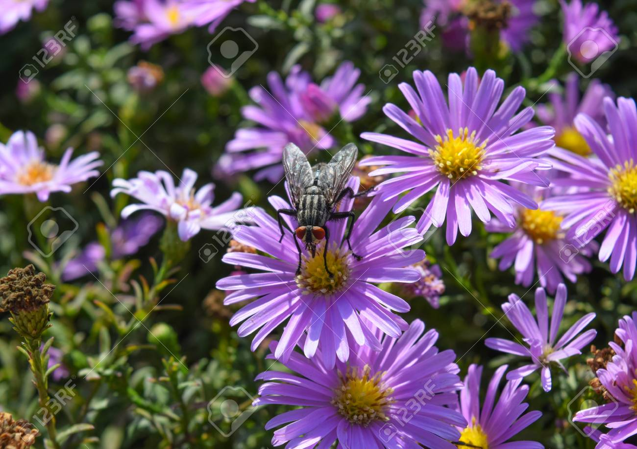 Fly Drinking Nectar On A Light Purple Flowers Insects Pollinate
