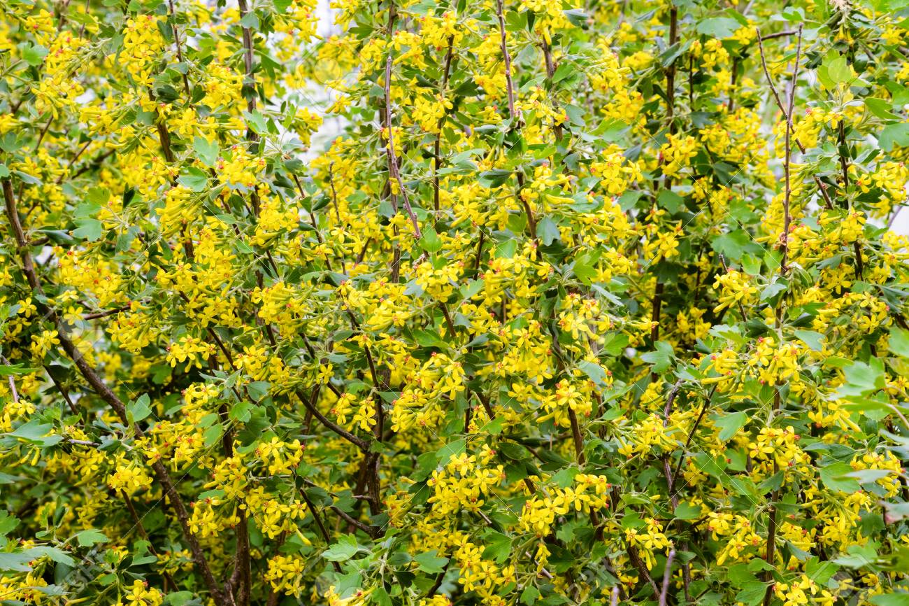 Golden currant blooms in spring in the garden yellow flowers stock golden currant blooms in spring in the garden yellow flowers stock photo 65850088 mightylinksfo