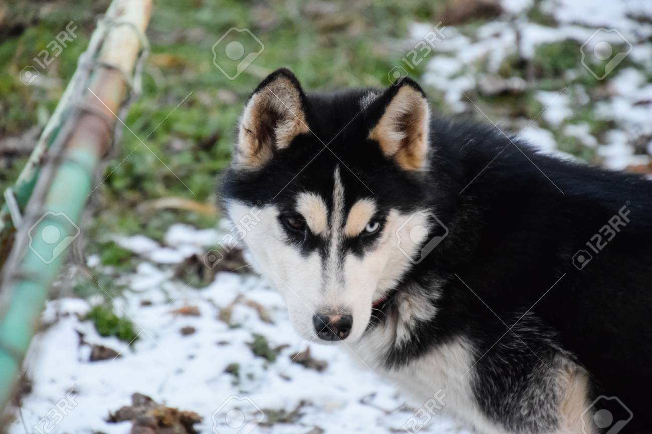 Husky Dog with different eyes  Black and white husky  Brown and