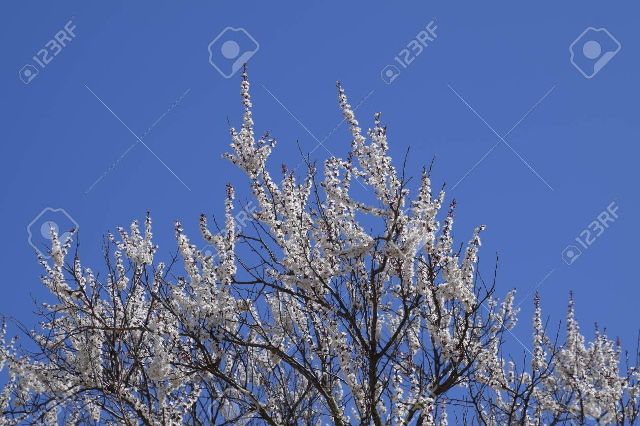 Blooming wild apricot in the garden spring flowering trees stock blooming wild apricot in the garden spring flowering trees pollination of flowers of apricot izmirmasajfo