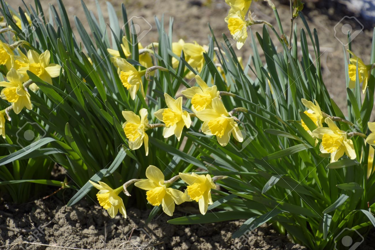 Flowers daffodil yellow spring flowering bulb plants in the stock flowers daffodil yellow spring flowering bulb plants in the flowerbed stock photo 75354304 mightylinksfo