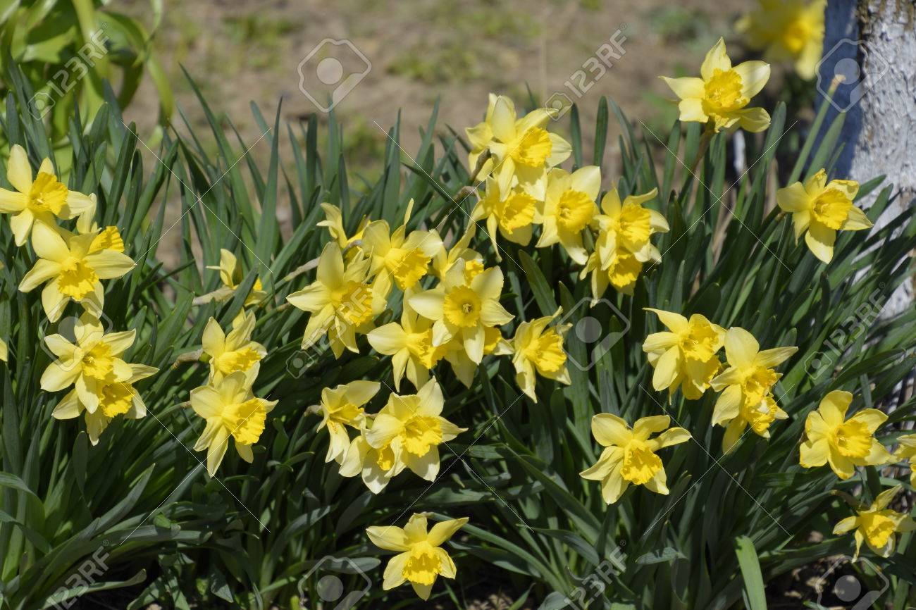 Flowers daffodil yellow spring flowering bulb plants in the stock flowers daffodil yellow spring flowering bulb plants in the flowerbed stock photo 75354310 mightylinksfo
