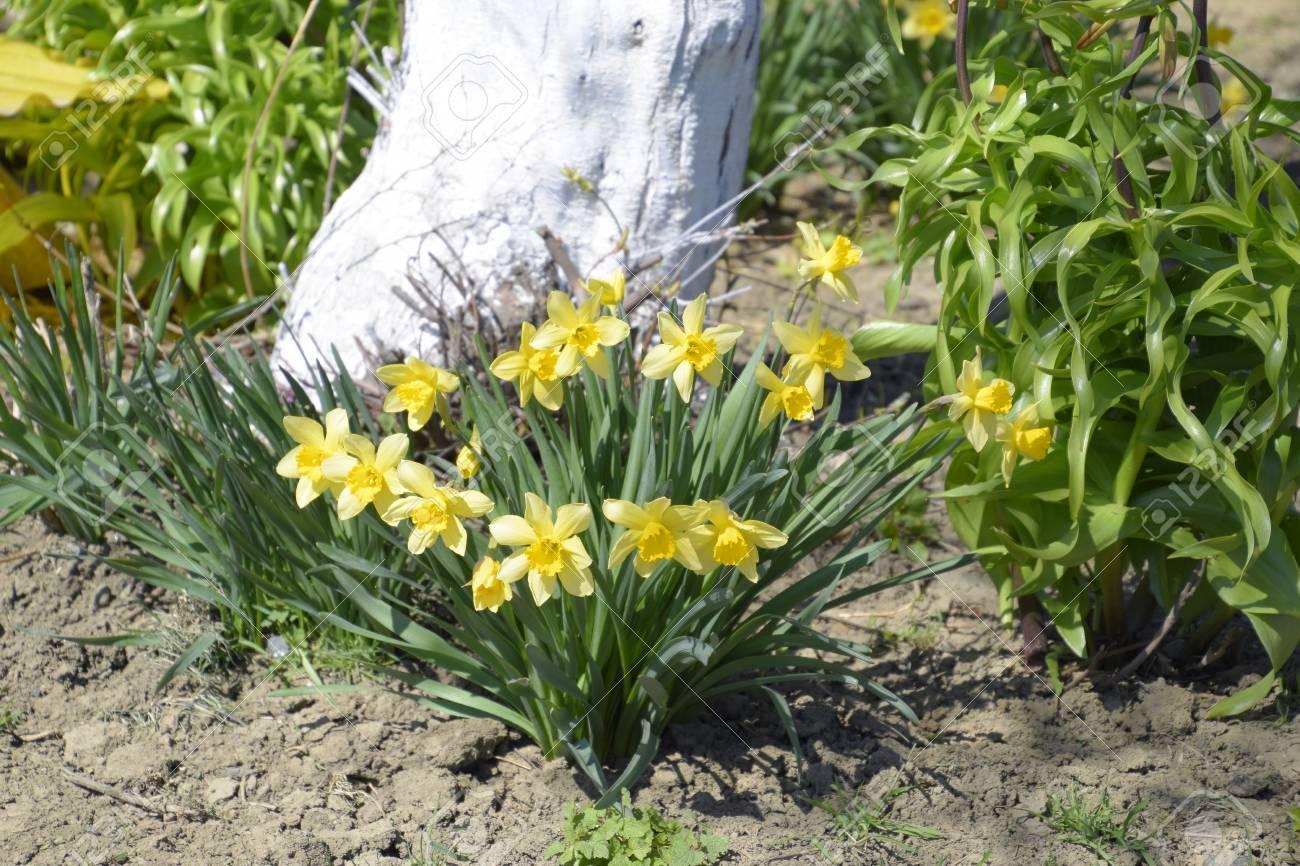 Flowers daffodil yellow spring flowering bulb plants in the stock flowers daffodil yellow spring flowering bulb plants in the flowerbed stock photo 75354312 mightylinksfo