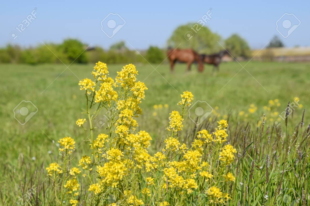 Horses On The Grass In The Pasture Yellow Flowers On A Horse