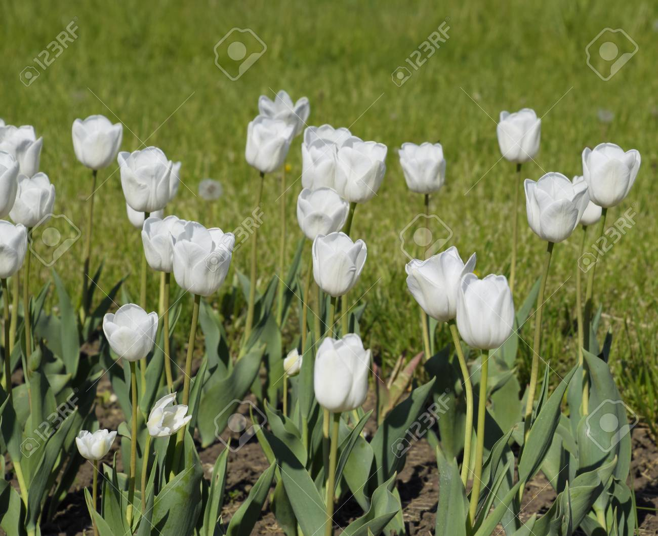 A flower bed with white tulips white tulips bulbous plants a flower bed with white tulips white tulips bulbous plants white flowers mightylinksfo