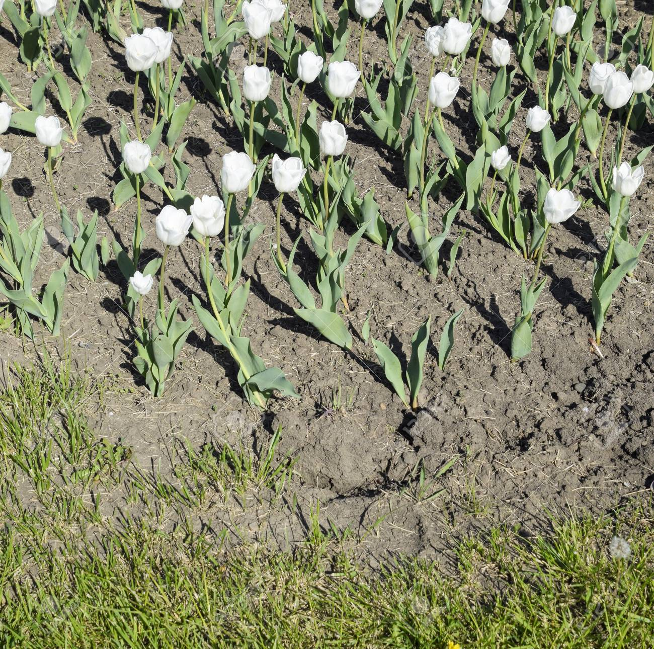 A Flower Bed With White Tulips White Tulips Bulbous Plants