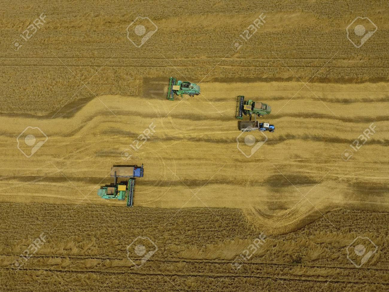 d87d0e11d2 Archivio Fotografico - Raccolta di frumento. Macchine agricole raccolgono  grano sul campo. Macchine agricole in esercizio.