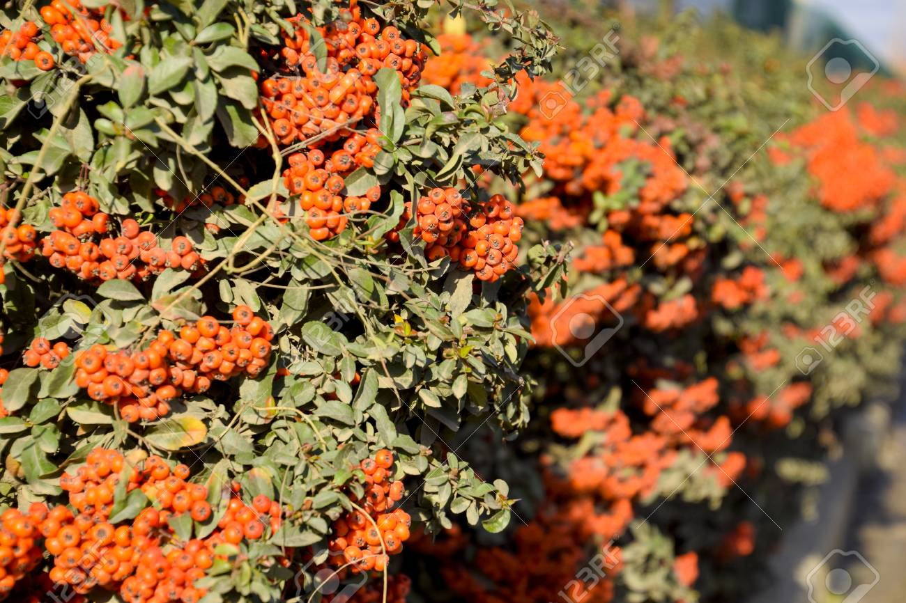 Brush Berry Orange Autumn Berries Of Pyracantha With Green Leaves