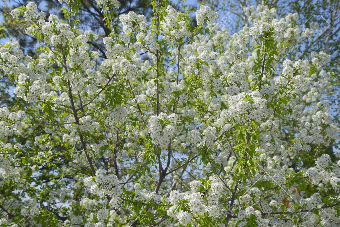 Blooming Cherry Plum White Flowers Of Plum Trees On The Branches