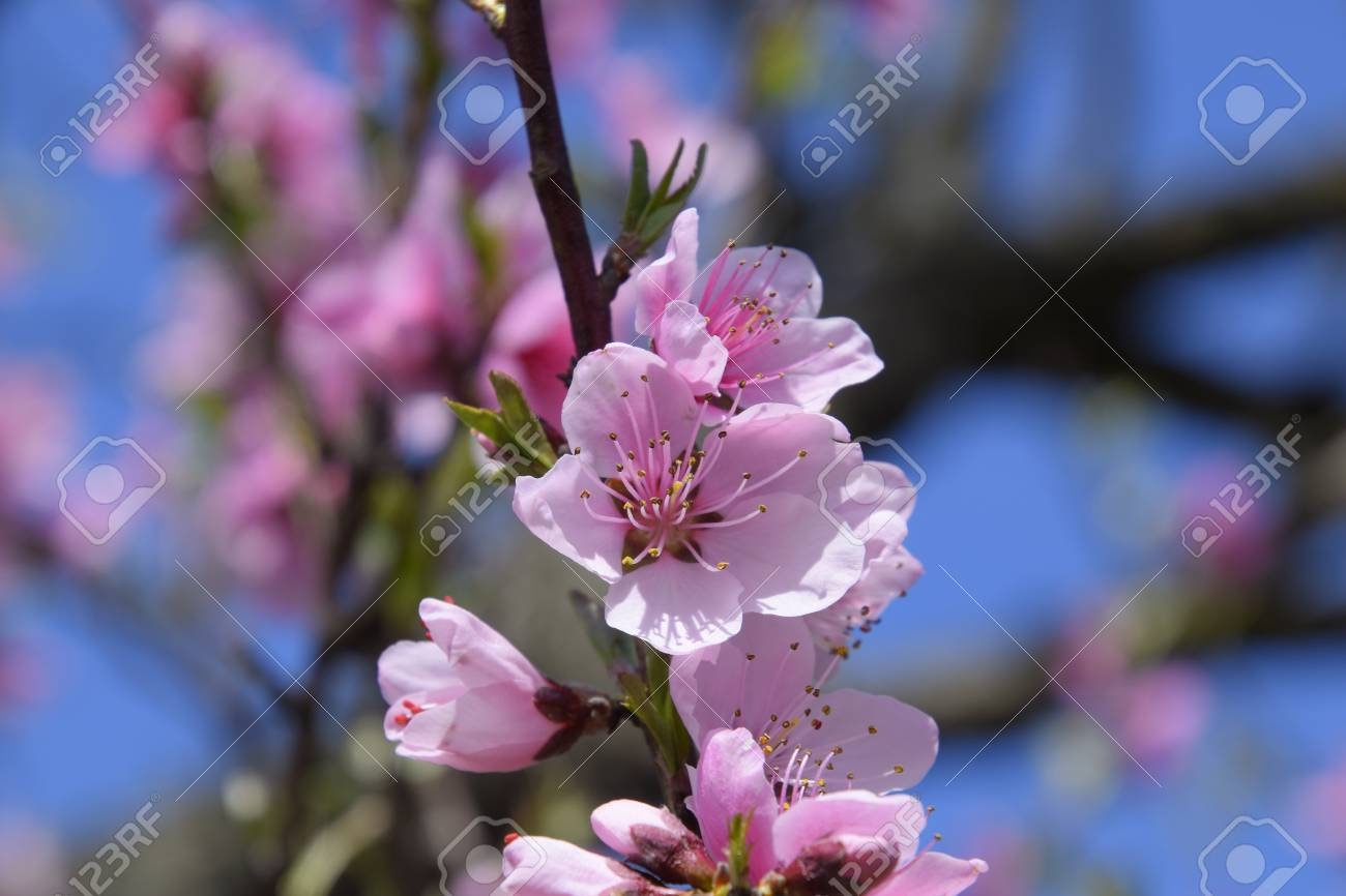 Blooming Wild Peach In The Garden Spring Flowering Trees