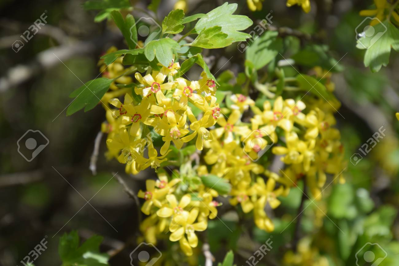 Flowering currant bush gold spring flowering garden berries stock flowering currant bush gold spring flowering garden berries stock photo 93817844 mightylinksfo