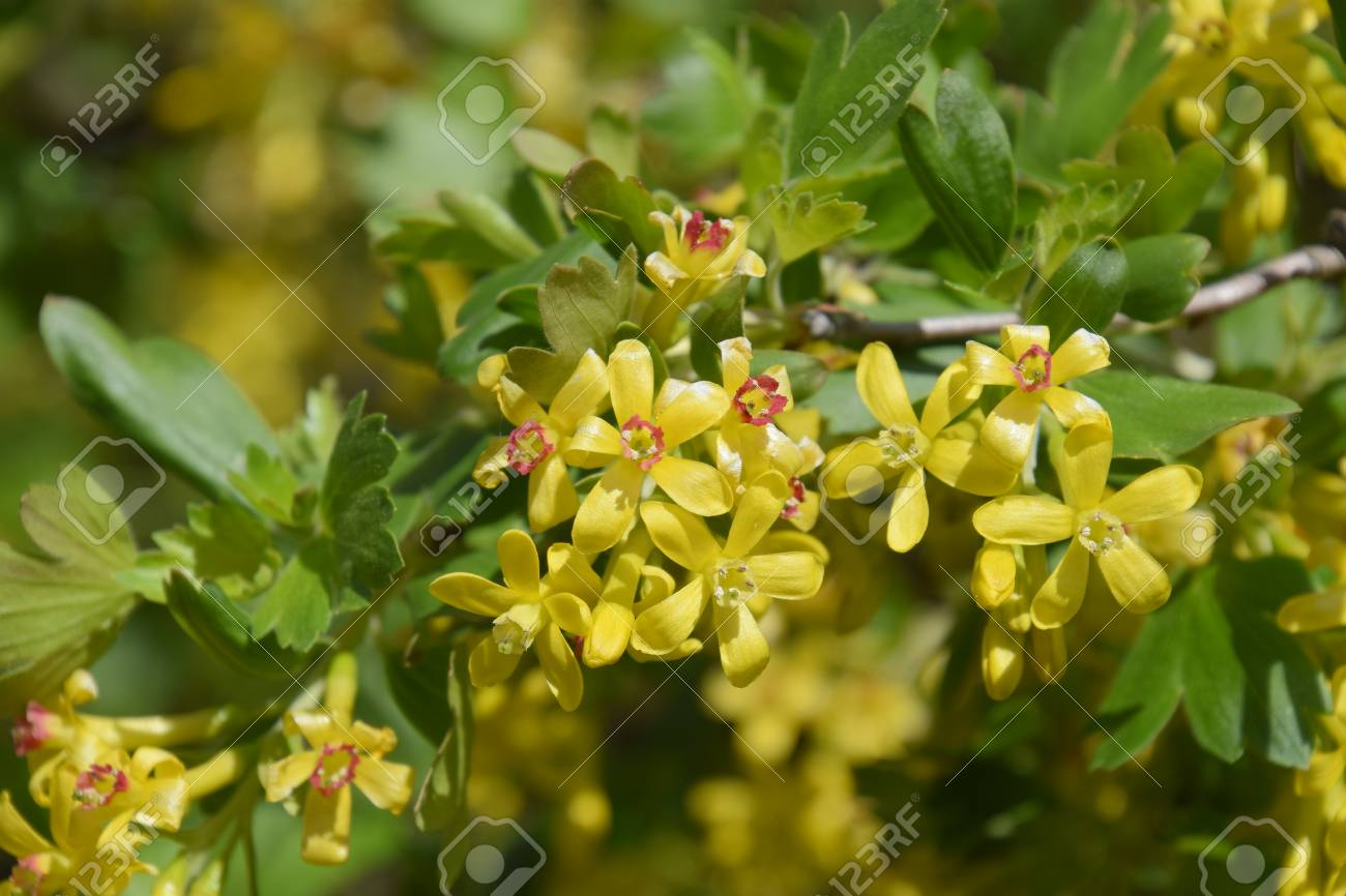 Flowering currant bush gold spring flowering garden berries stock flowering currant bush gold spring flowering garden berries stock photo 93817855 mightylinksfo