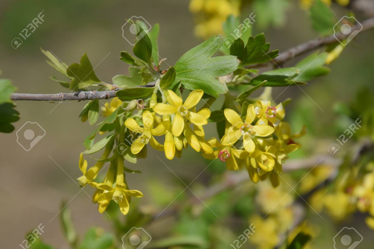 Flowering currant bush gold spring flowering garden berries stock flowering currant bush gold spring flowering garden berries stock photo 93817858 mightylinksfo