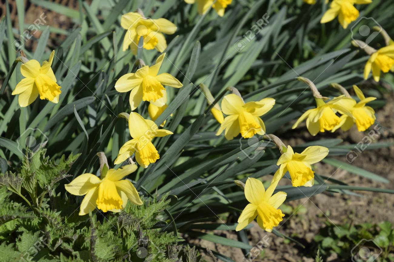 Flowers Daffodil Yellow Spring Flowering Bulb Plants In The Stock