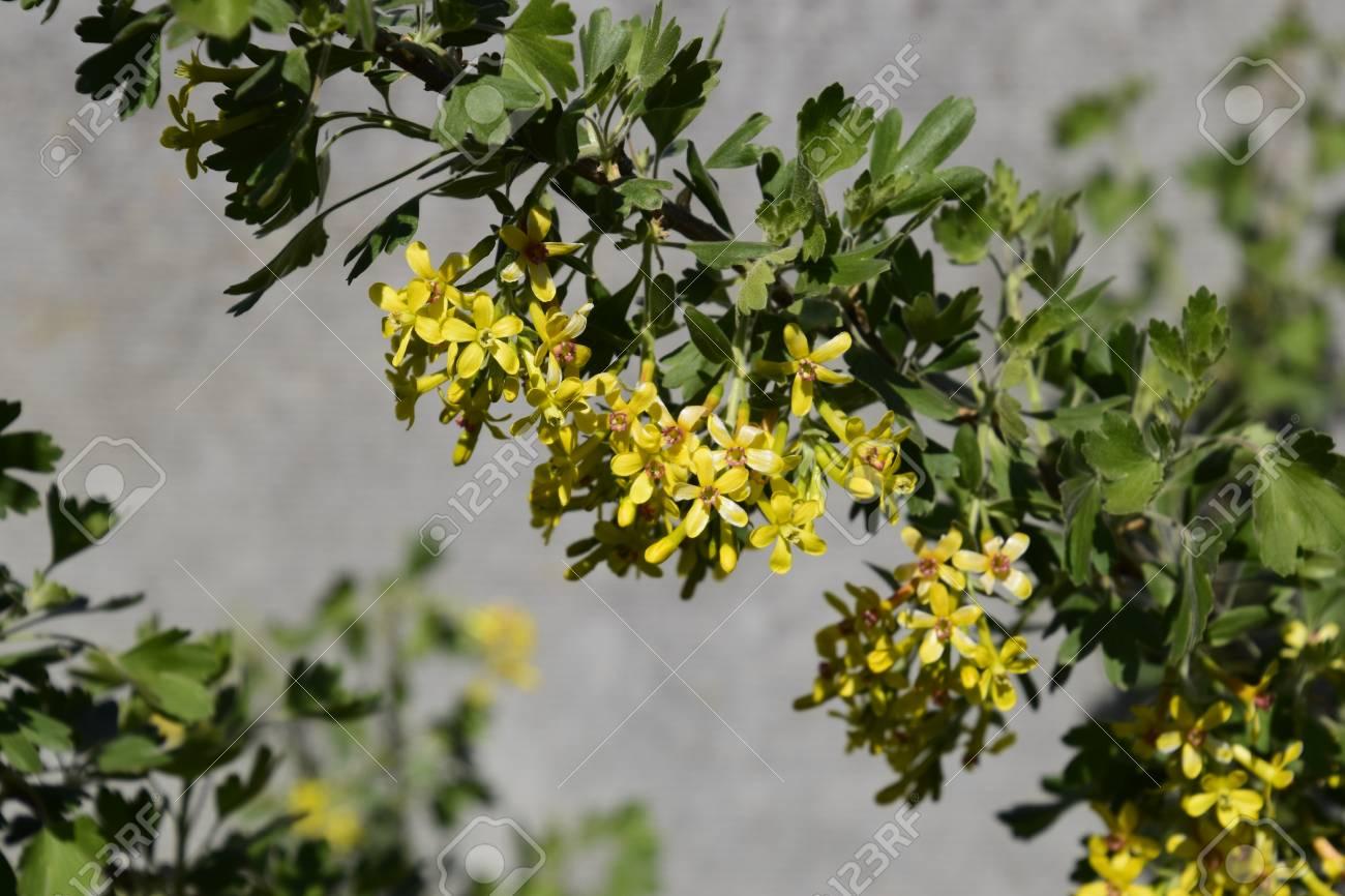 Flowering Currant Bush Gold Spring Flowering Garden Berries Stock