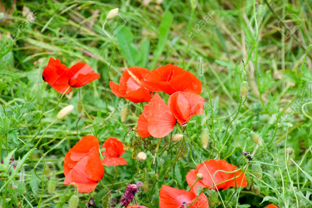 Poppy Flowers In The Clearing Blooming Red Wild Poppy Red Poppy