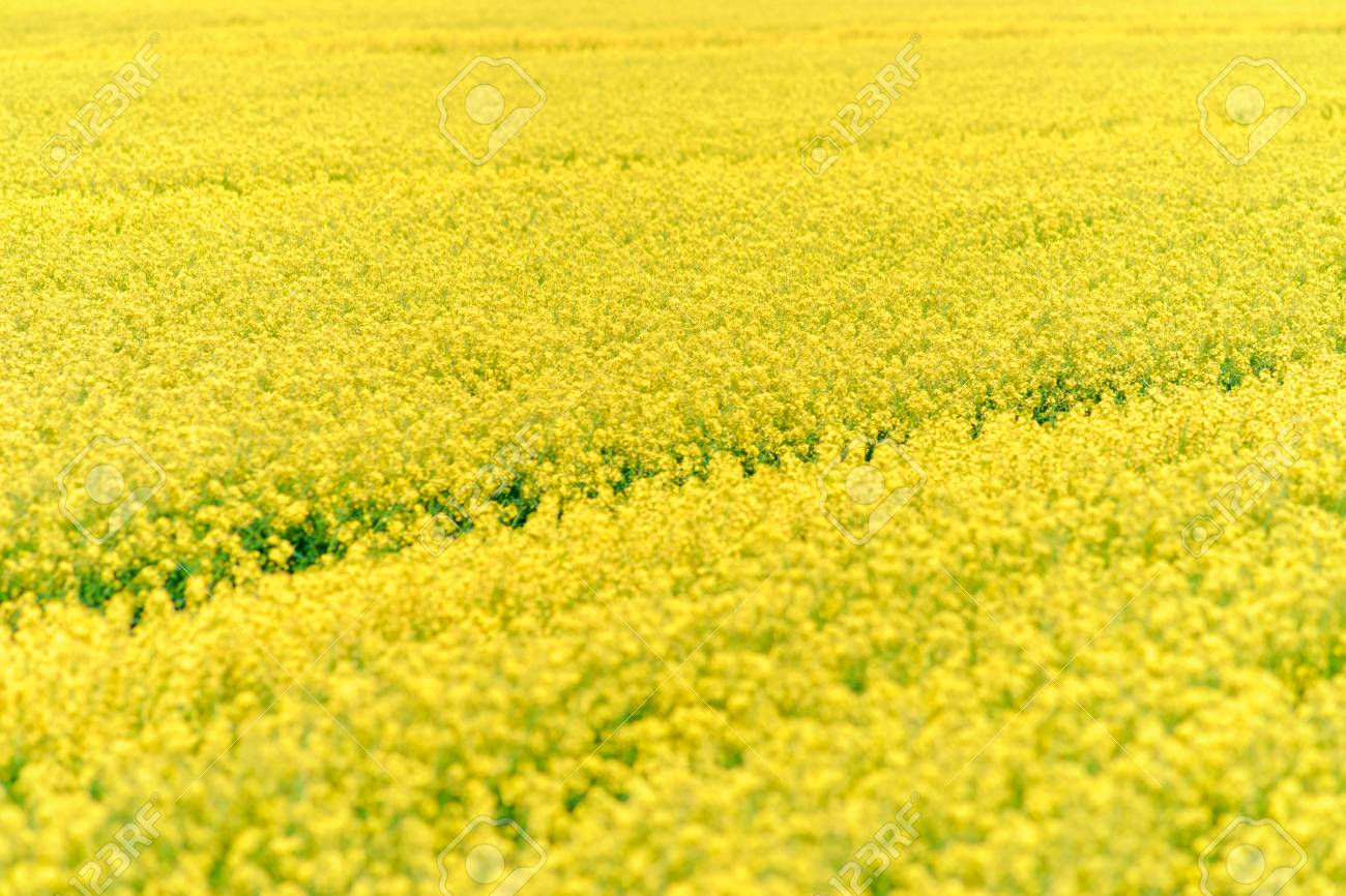 Rapeseed flower blooming at crops field stock photo picture and rapeseed flower blooming at crops field stock photo 30358394 mightylinksfo