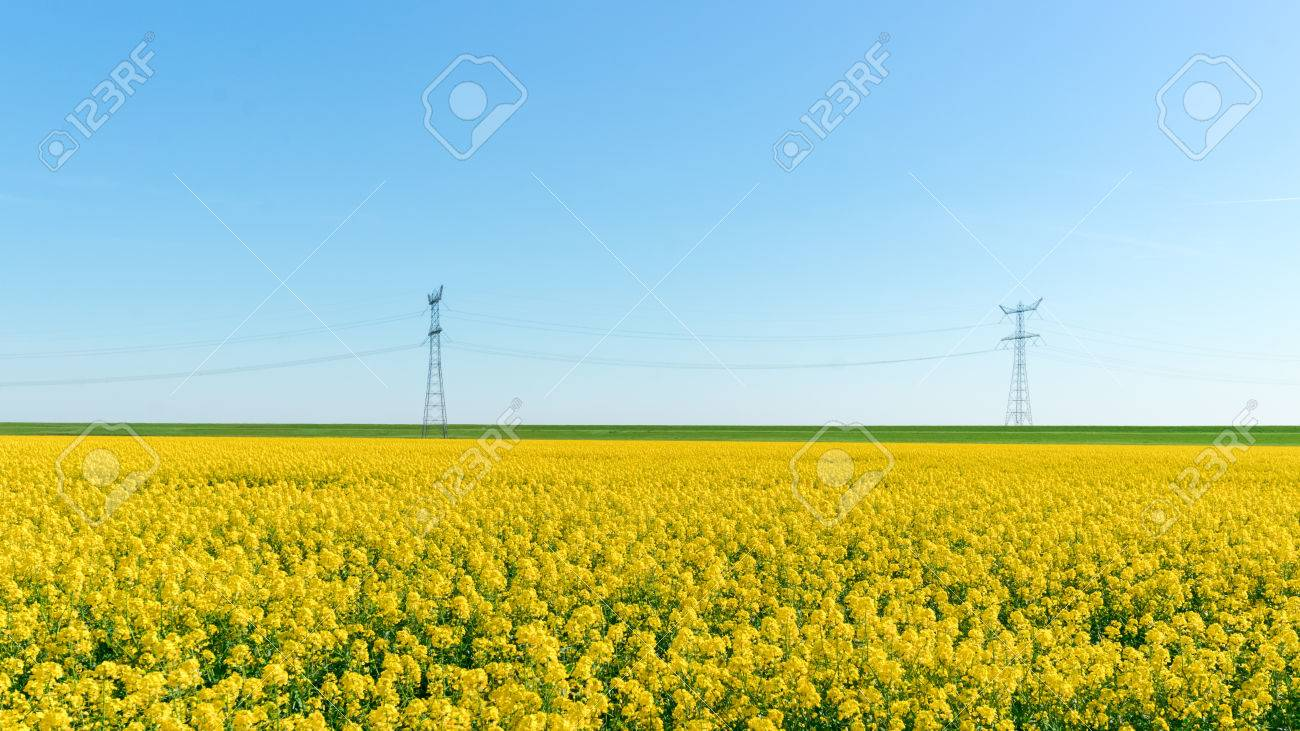 Rapeseed Flower Blooming At Crops Field Stock Photo Picture And