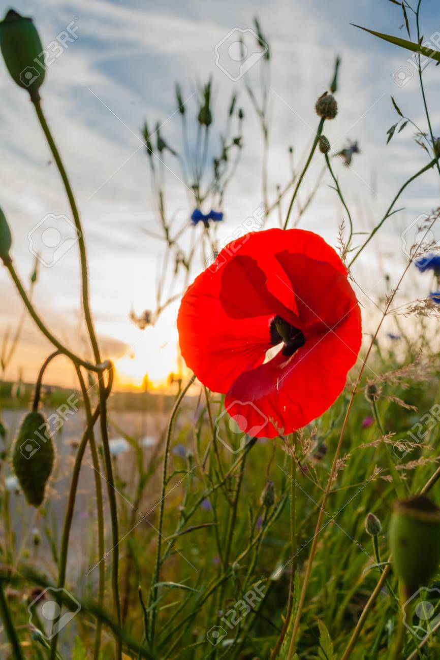 Field Flowers With Red Poppy In The Meadow Summer Evening Light
