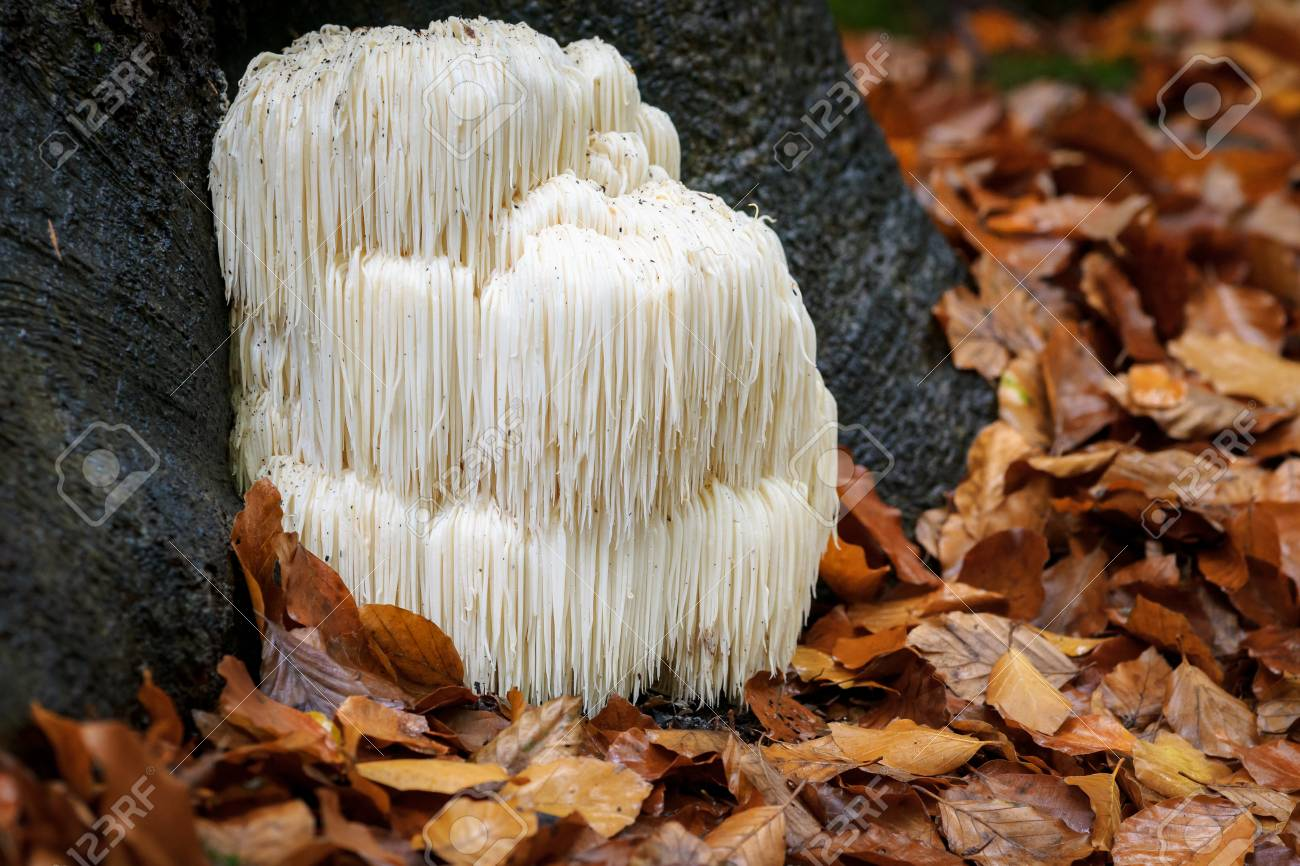 The rare Edible Lion's Mane Mushroom / Hericium Erinaceus / pruikzwam in the Forest. Beautifully radiant and striking with its white color between autumn leaves and the green moss Photographed on the Veluwe at the leuvenum forest in the Netherlands. - 88624129