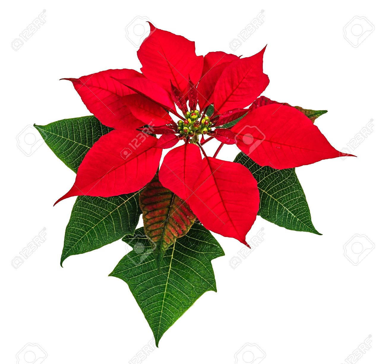 Red Christmas Flower.Christmas Red Poinsettia Flower Isolated On White Background