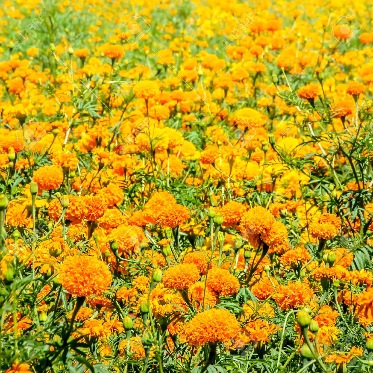 champ de fleurs cempasúchil. tagetes erecta, le souci du mexique