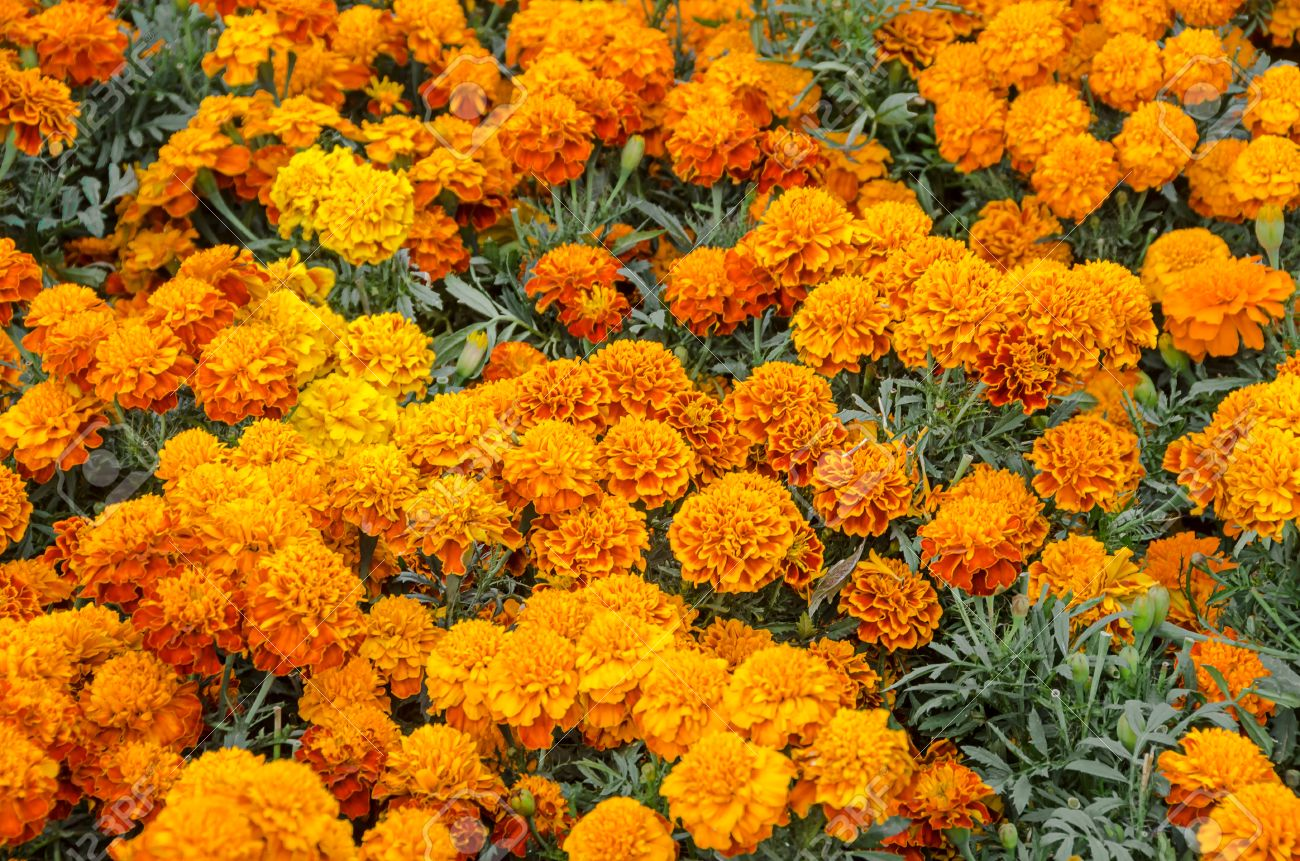 Cempasuchil Flower. Tagetes Erecta, Mexican Flower Of The Day ...
