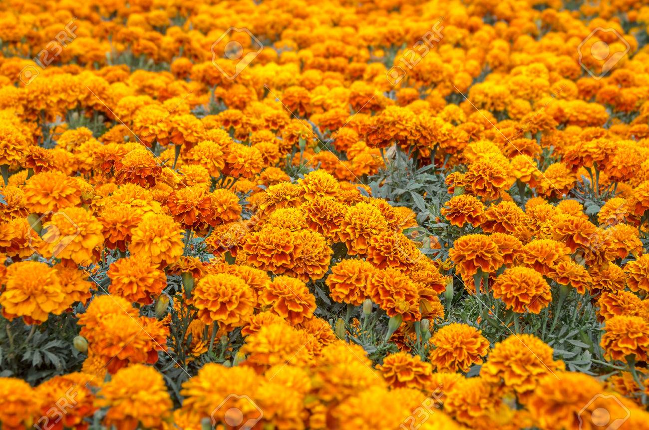 cempasuchil flower tagetes erecta mexican flower of the day