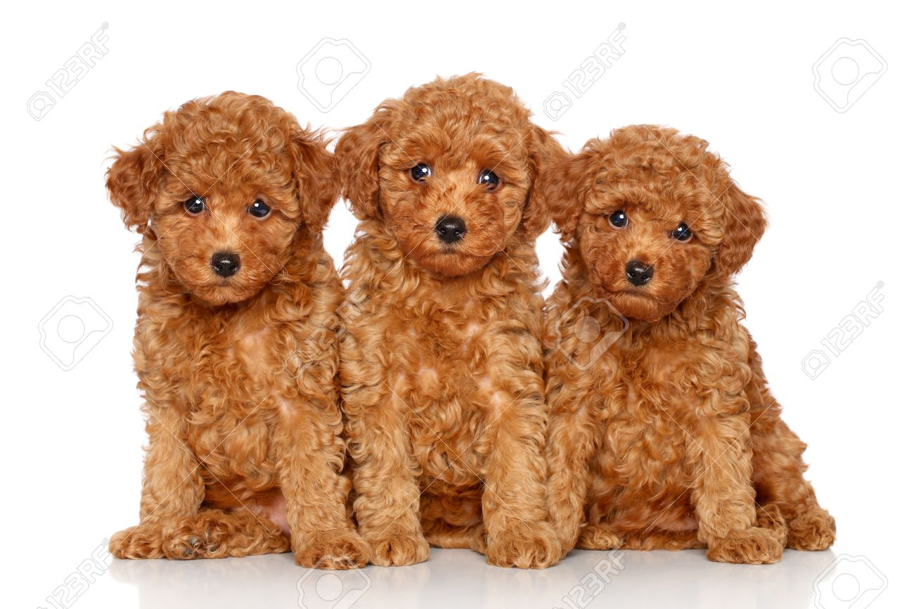 Red Toy Poodle Puppies 2 Month Posing On A White Background Stock Photo Picture And Royalty Free Image Image 23734410