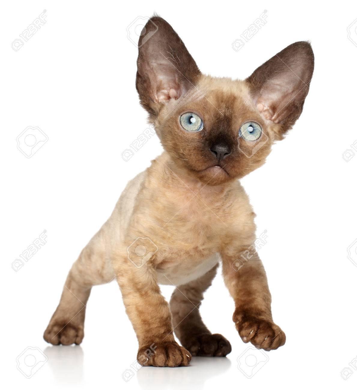 Devon Rex Kitten Posing A White Background Stock Picture
