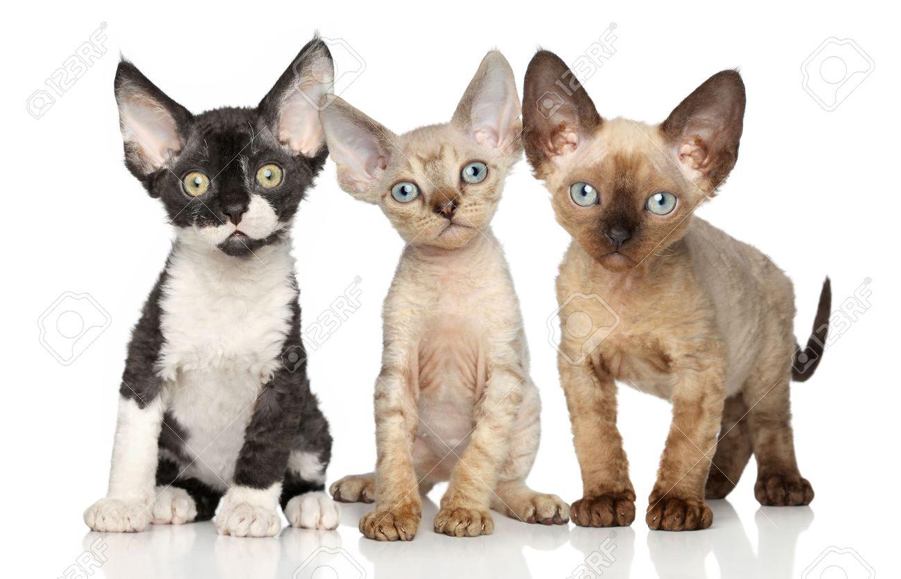 Devon Rex Kittens Posing A White Background Stock