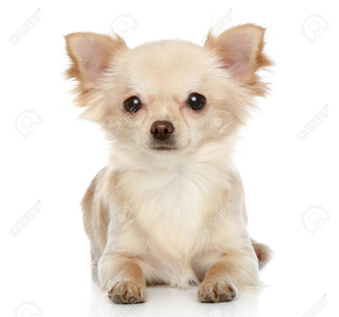 ロングコート チワワの子犬が白の背景にあります。