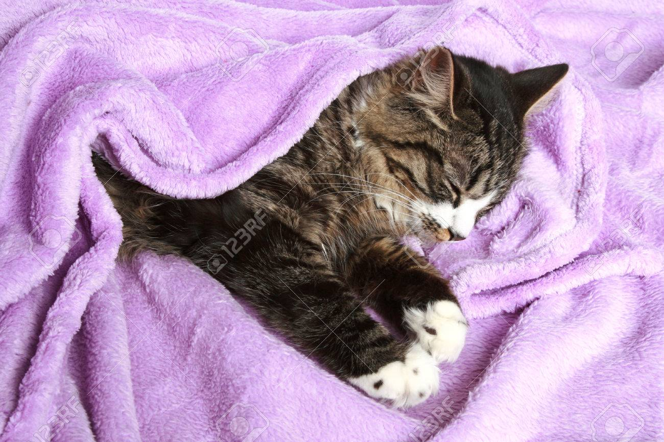 kitten sleeps the covered soft blanket stock photo picture and
