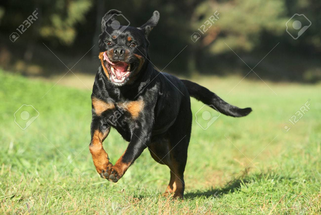 Purebred Rottweiler Running On Green Lawn Stock Photo Picture And